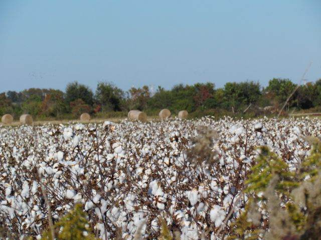 Cotton Field in South Alabama