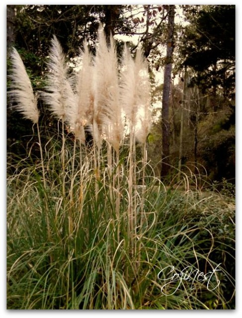 Tall Plumes