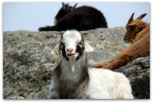 Counting Goats