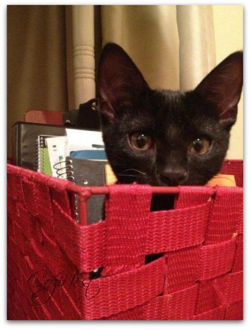 Black kitten in red basket