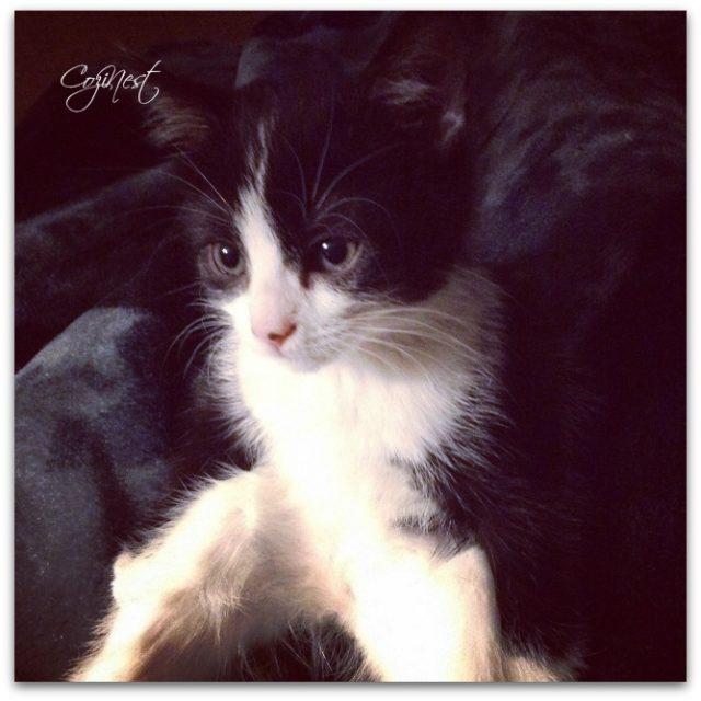 Scarlett Kitten Portrait